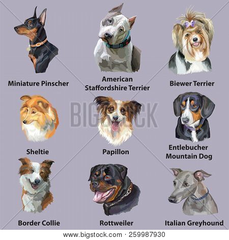 Set Of Colorful Vector Portraits Of Dog Breeds ( Border Collie, Papillon, American Staffordshire Ter