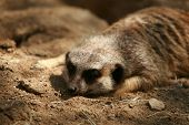 "Meerkat ""Suricata suricatta"" enjoy life in the sun and keep a look out for predators poster"
