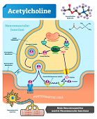 Acetylcholine vector illustration. Labeled scheme with structure of neurotransmitter, neuromuscular junction, synaptic vesicle, axon and cleft. Anatomical closeup diagram poster