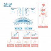 Adrenal Glands of Endocrine System.Medical science vector illustration diagram.Biological scheme with cortisol,aldosterone and adrenaline effects such as metabolism,stress response and blood pressure. poster