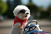 a bichon frise dog wears her red bandana and goggles as she drives her hot rod pedal car around town poster