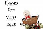 "a pure breed ""Bichon Frise"" with a red bow, in a ""santa Sled"" ""isolated on white"" with ""room for your text"" poster"