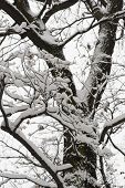 Early winter snow covered tree silouette contrasty poster