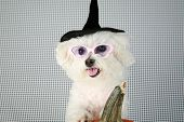 Fifi the Purebred Bichon Frise smiles as she models some of her favorite outfits to see what she wants to wear to a halloween party poster