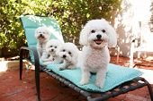 beautiful pure breed bichon frise dogs smile as they pose for their portrait while out side on a lounge chair. poster