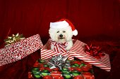 Jolie a pure breed Bichon Frise wears Her Santa Hat, Christmas Bow and sits inside a christmas present box wishing everyone a Very Merry Christmas and Happy Holiday Season, against  Red Velvet poster