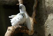 Couple of white cockatoos also known as umbrella cockatoos (Cacatua alba) poster