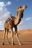 Arabian camel or Dromedary (Camelus dromedarius) also called a one-humped camel in the Sahara Desert, Morocco poster