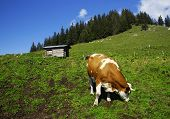Cow is eating green grass on a alpine meadow poster
