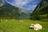 Beautiful Alpine landscape with cow herd near Koenigssee in Bavarian Alps poster