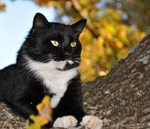Handsome tuxedo cat with striking eyes surveying world from his tree poster