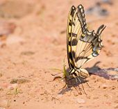 Eastern Tiger Swallowtail butterfly on a natural beach looking for minerals to feed on poster