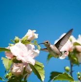 Beautiful Ruby-throated Hummingbird feeding on a Hibiscus flower poster