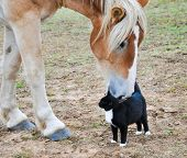 Big Belgian Draft horse curiously nibbling on a black-and-white kitty cat poster