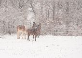 Four horses in a very heavy snowstorm, getting covered in snow poster