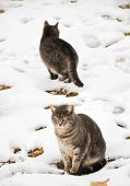 Two blue tabbies in snow on a damp cold winter day poster