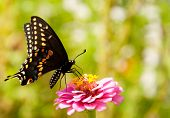Ventral view of an Eastern Black Swallowtail feeding on a Zinnia flower against green background poster