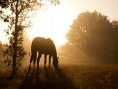 Silhouette of a grazing horse against morning sun shining through a thick fog, in sepia tone poster