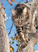 Beautiful gray tabby cat climbing down from a Persimmon tree in fall poster
