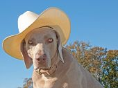 Humorous image of a Weimaraner dog with a cowboy hat against clear blue skies poster