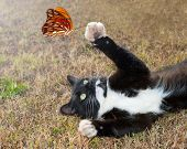 Black and white kitty cat playing with an orange butterfly in flight poster
