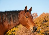 Red bay Arabian horse against trees in fall colors and clear blue skies poster