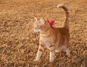 Beautiful orange tabby kitty cat on fall grass with a bow on his collar poster