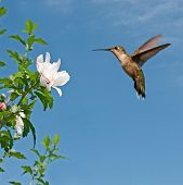 Ruby-throated hummingbird hovering and getting ready to feed on an Althea flower poster