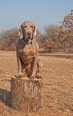 Comical image of a big Weimaraner dog sitting on top of a log like a cat poster