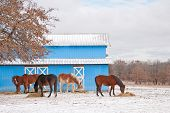 Group of horses eating their hay in front of a blue barn on a cold winter day poster
