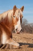 Belgian Draft horse taking a nap in pasture, enjoying warm rays of sun on a winter day poster