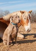 Weimaraner dog sitting next to his resting friend, a huge Belgian Draft horse poster