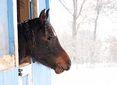 Dark bay horse looking out from a barn in heavy snow fall poster
