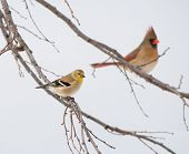 American Goldfinch, Spinus tristis, in its winter plumage, perched on a Persimmon tree, with a female Northern Cardinal on background poster