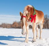 Handsome Belgian Draft horse wearing a Christmas wreath and a bow looking at the viewer down low, against snowy winter background poster