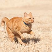 Orange tabby cat running full speed across a grass field poster