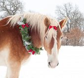 Gift horse - a Belgian draft horse with a Christmas wreath and a bow in his forelock against snowy winter background poster
