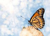Dreamy image of a Viceroy butterfly resting on a dry leaf poster
