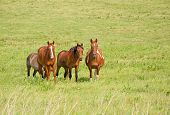 Small herd of ranch horses on green prairie pasture in summer poster