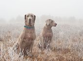 Two Weimaraner dogs in heavy fog on a cold, frosty winter morning poster
