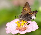 Hoary Edge butterfly on pink Zinnia poster