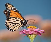 Colorful migrating Monarch butterfly feeding against blue sky poster