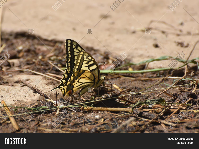 Old Papilio Machaon Image & Photo (Free Trial) | Bigstock | 1120x1500