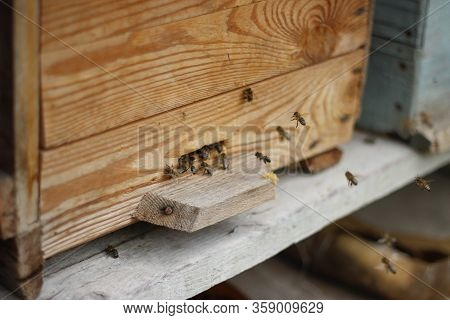 Bee, Apis mellifera, European or Western honey bee, isolated on white, wingspan 18mm