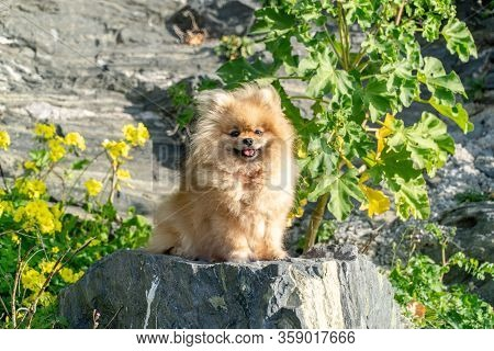 Pomeranian Spitz. Cute Fluffy Charming Red-haired Pomeranian Spitz In Full Growth On The Grass In Th
