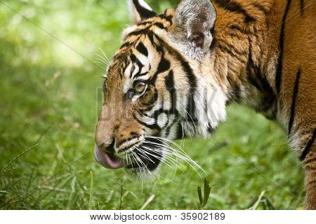 tiger with grass background