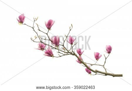 magnolia branch isolated on white background