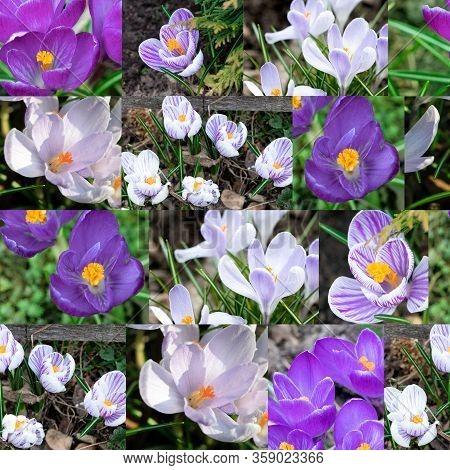 Crocus In The Early Spring. Seamless Pattern, Layout. Early Spring, Crocus Vernus. Iridaceae.