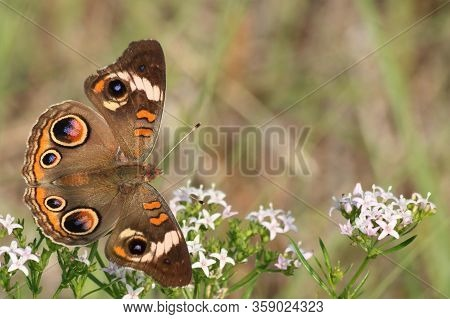 Close-up Of A Common Buckeye Butterfly, With Wings Spread Open, On White Wildflowers, With Room For