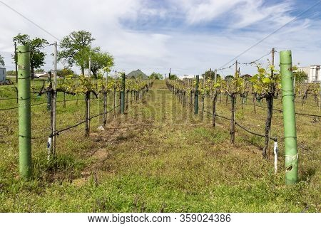 Rows Of Grapevine Plants In A Grapevine Winery Vineyard Beginning To Sprout Bright Green Leaves On A